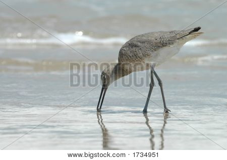 A willet bird is feeding in the surf at Padre Island National seashore. poster