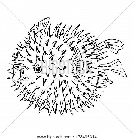 Blowfish or diodon holocanthus or puffer fish or balloonfish or globefish or swellfish or bubblefish or toadfish. Sketch illustration. isolated. Realistic.