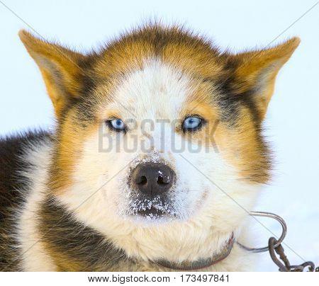 beautiful  head Malamute sled dogs on Kamchatka.
