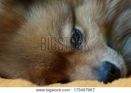 Dog Has A Rest And Falls Asleep, German Spitz