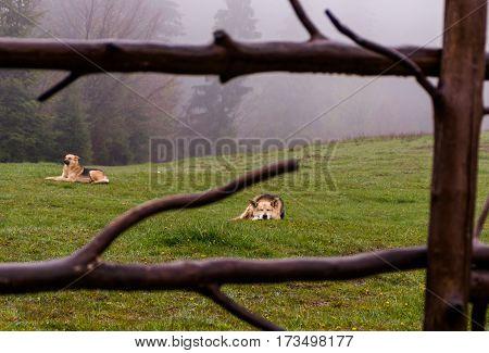 herding dogs lie on a hillside misty spring morning