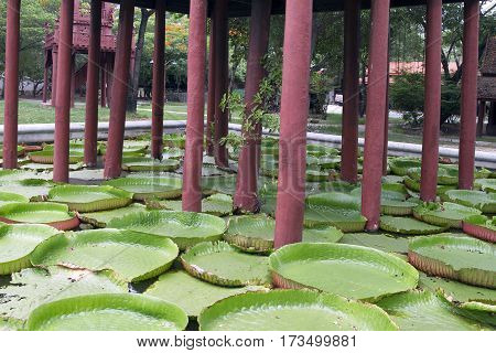 Leaves of the Giant Big Water Lily