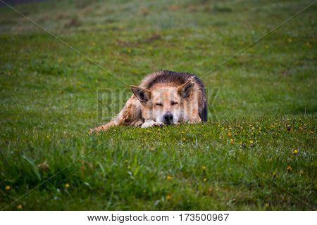 herding dog lie on a hillside misty spring morning