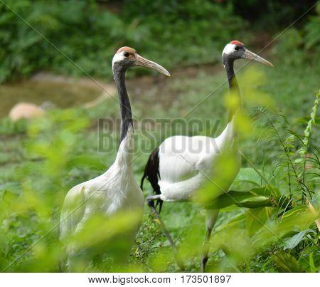White naped Crane bird