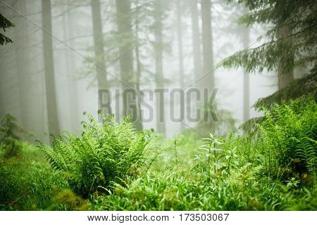 The gloomy pine forest shrouded with thick fog in the morning. Dramatic scene and picturesque picture. Location place Carpathian, Ukraine, Europe. Artistic picture. Discover the world of beauty.