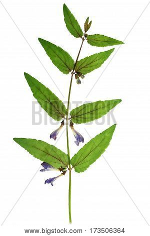 Pressed and dried delicate yellow flowers Skullcap (Scutellaria galericulata) isolated on white background. For use in scrapbooking floristry (oshibana) or herbarium.