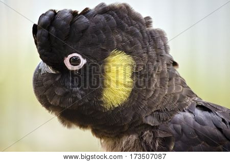 this is a close up of a yellow tailed black cockatoo