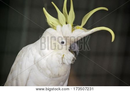 this is a close up of a sulphur crested cockatoo