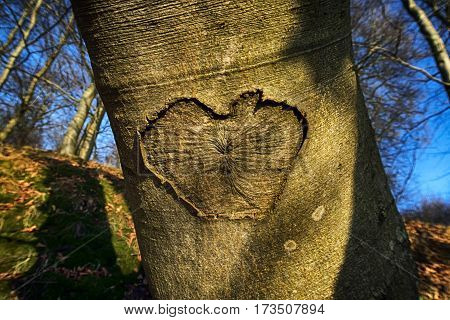 Heart shape closeup in a beech tree