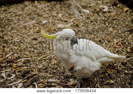 this is a close up of a sulphur crested cockatoo eating