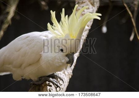 the sulphur crested cockatoo is roosting on a branch