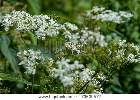 Blooming hemlock closeup with green blurred background