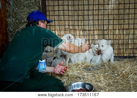 A worker of the zoo to feed the meat of whites lion cubs born in captivity June 23 2016.