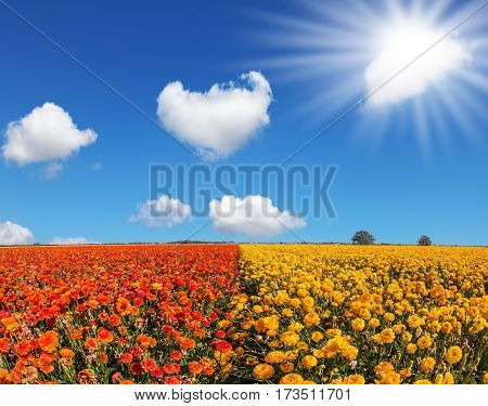 The southern sun illuminates the fields of red and yellow garden buttercups- ranunculus. Wind drives the clouds. Concept of rural tourism