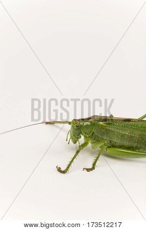 Closeup Macro Of Green Grasshopper Over White Background