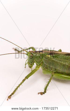 Green Grasshopper Locust On White Background