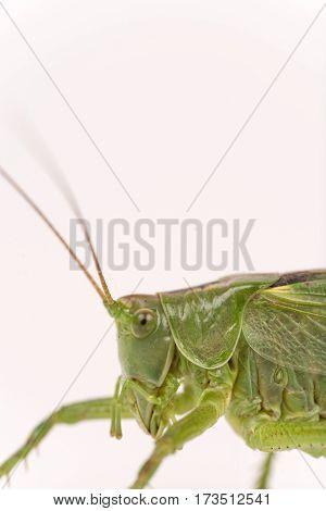 Green Grasshopper Head Macro Closeup