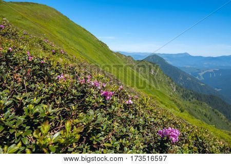 Green Mountain Slopes Covered With Blooming Pink Rhododendrons