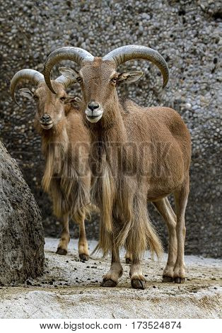 Close view on a young Capra Ibex