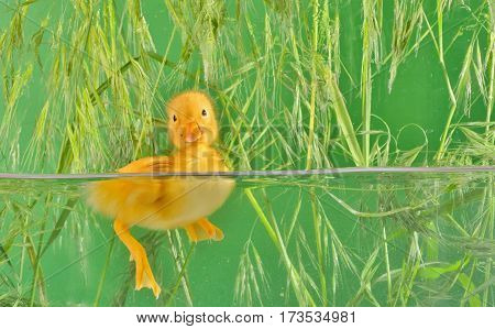 little duck floating in water isolated, close up