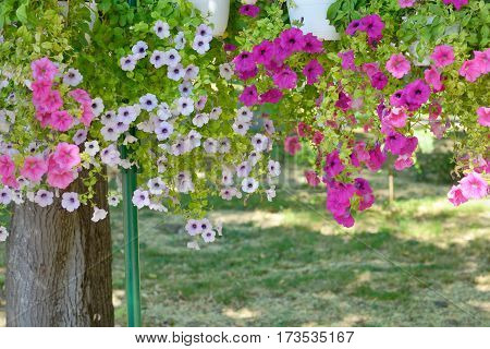 Petunia flowers in pots hanging in park