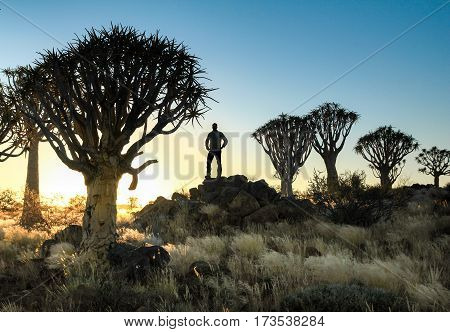 Beautiful african sunset with silhouetted quivertrees and illuminated grassland. A hiker stands between the tree in the savanna. Namibia near Keetmanshoop.