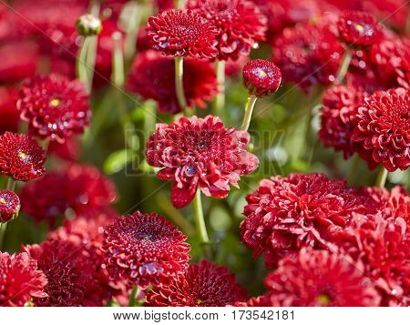 Red flowers background with shallow depth of field