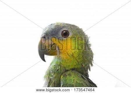Close-up of Yellow-shouldered Amazon parrot, Amazona barbadensis, look at left, isolated on white background