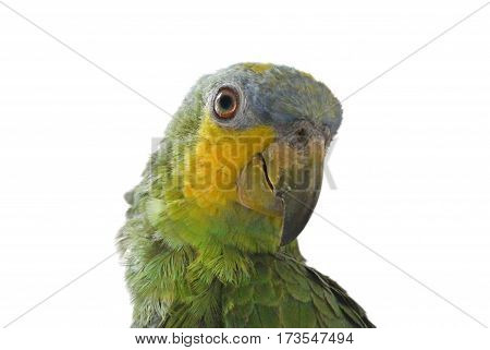 Close-up of Yellow-shouldered Amazon parrot, Amazona barbadensis, look at right, isolated on white background