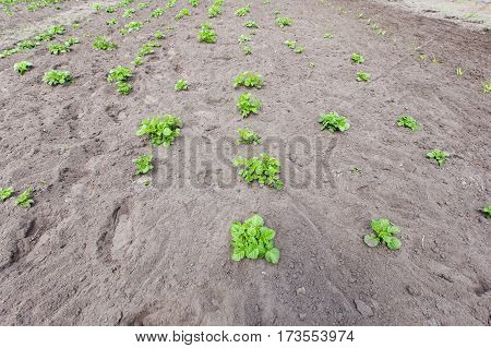 young bushes of potatoes on the ground