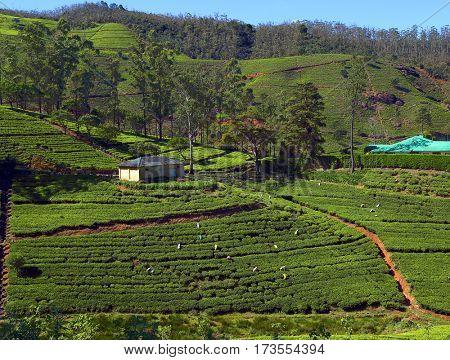Women from Sri Lanka harvested tea leaves in Nuwara Eliya