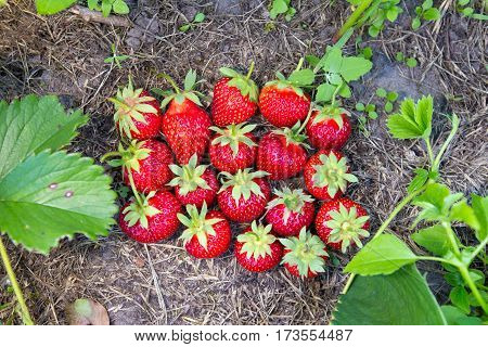 ripe strawberries ripped from the bush lying on the ground near the strawberry bushes top view