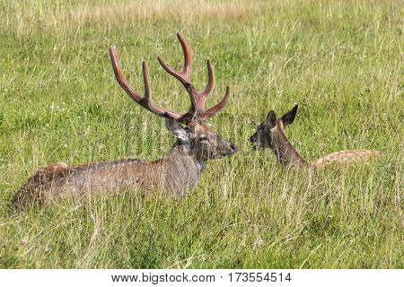 Male and female sika deer lying in the grass