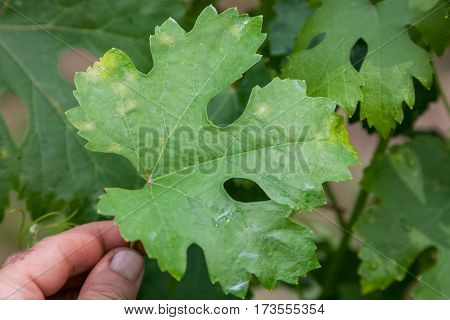 Closeup of vine grape leaf affected by Downy Mildew (Plasmopara vitikola) front view