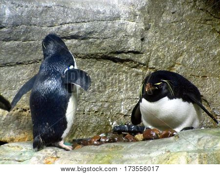 Penguin family on a rock going swimming