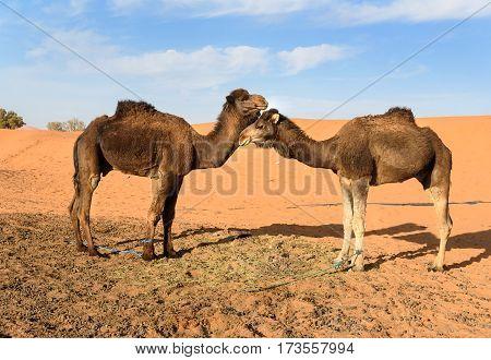 Camels In Erg Chebbi Sand Dunes Near Merzouga, Morocco