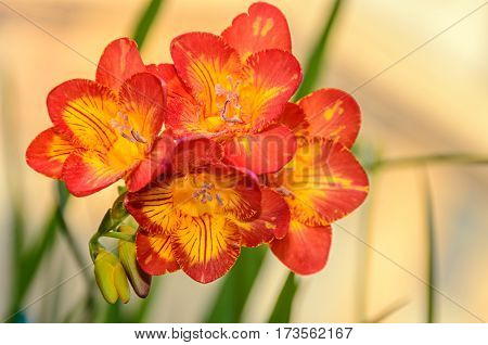 Purple With Yellow Freesia Flower, Window Background, Green Plant Close Up