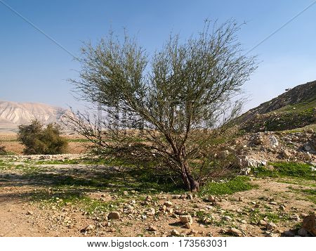 Typical tree in peruvian desert great nature background image