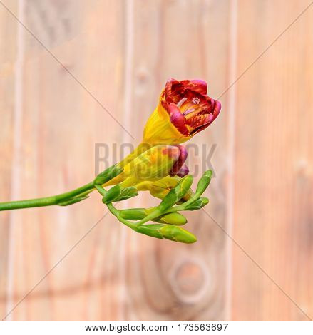 Purple With Yellow Freesia Flower, Wood Background, Green Plant Close Up