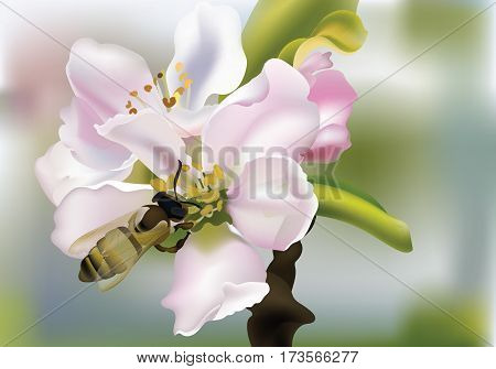 Cherry flowers Realistic Vector illustration with bee collecting pollen. Beautiful Spring Background