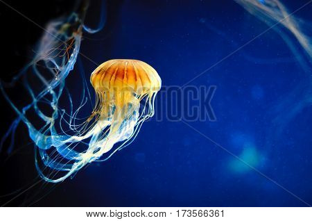 Orange jellyfish or Chrysaora fuscescens or Pacific sea nettle on deep blue