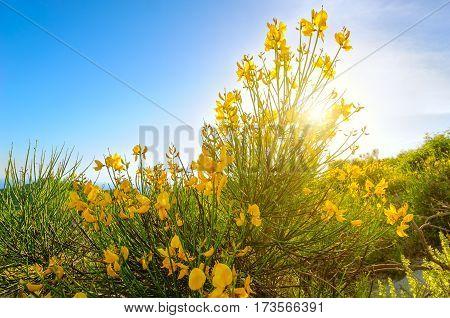 Sunshine through mountain yellow flower in Monte Epomeo Ischia Italy