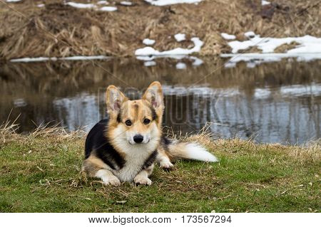 Dog in the grass by the river lake. Spring season.