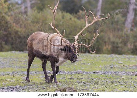a huge barren ground caribou bull in Alaska