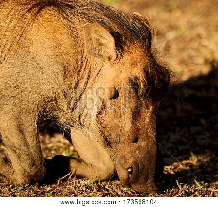 In South Africa     Wildlife    Reserve And   Warthog