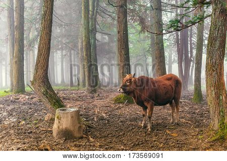 red brown cow standing and chew the cud in the woods with mist background