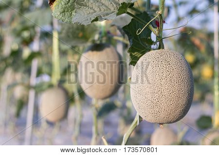 Close up melon growing ready for harvest in field plant agriculture farm.