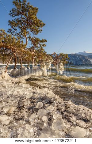 Beautiful winter landscape with a lone pine tree lying on the shore of the lake in the water waves and ice on the bank on the background of mountains on a sunny day