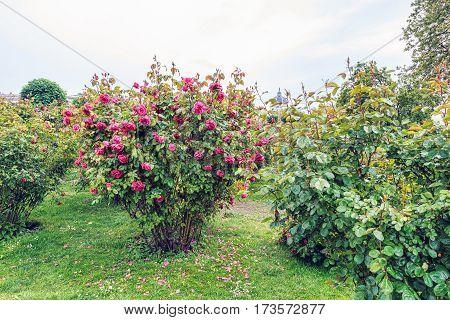 Red rose at volksgarten, people's garden near hofburg palace in vienna, austria
