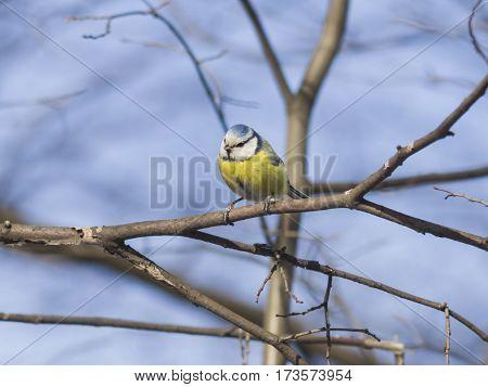 Eurasian blue tit Cyanistes caeruleus sitting in branches closeup portrait selective focus shallow DOF